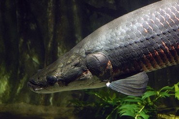 Amazon Big Fish